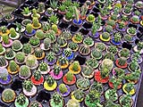 Little cacti at the flower market