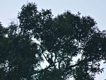 Khao Sok park - can you spot the hornbill in the tree?