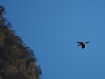 Hornbill in flight over Khao Sok park