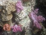 Soft corals at a pinnacle near Koh Adang