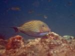 Lined surgeonfish in Maya Bay