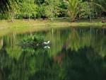 Pond Heron flying over the pond at the Kuraburi Greenview Resort