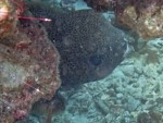 Porcupinefish at Koh Kra
