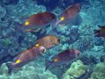 School of Golden Rabbitfish off Koh Rok Noi