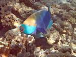 Parrotfish off Koh Rok Noi