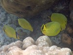 To pairs of Latticed Butterflyfish at Ao Chong Khad