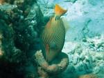 Orange-Lined Triggerfish at Ao Chong Khad