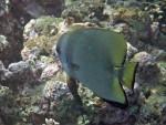 Golden Batfish (I think) at Ao Suthep