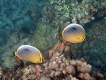 Pair of Indian Redfin Butterflyfish at Ao Suthep