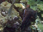 Octopus setting up on coral head at Ao Suthep (1)