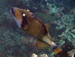 Titan Triggerfish at Ao Suthep