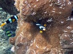 Clark's Anemonefish pair at Koh Mungkorn