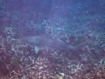 Black-tip Reef Shark at Torinla