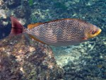 Java Rabbitfish at Torinla