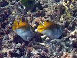 Pair of Threadfin Butterflyfish at Torinla