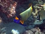 Yellow-Mask Angelfish at Torinla