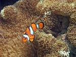 Fierce clown anemonefish
