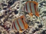 Beaked Coralfish pair off Mosquito Island
