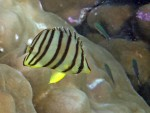 Eight-Banded Butterflyfish off Mosquito Island