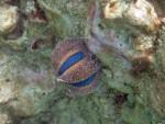 Globe Urchin off Mosquito Island