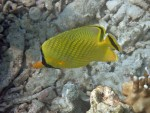 Latticed Butterflyfish off Mosquito Island
