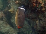 White Collar Butterflyfish off Mosquito Island