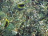 Raccoon Butterflyfish at Torinla
