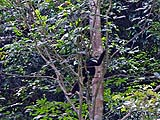 Gibbon on a tree trunk in Khao Sok Park
