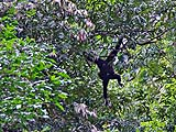 Gibbons crossing between trees in Khao Sok Park