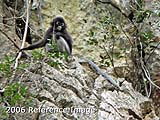 Dusky Langur exposed on karst (2006)